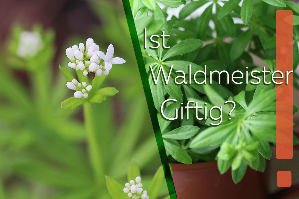 Ist Waldmeister giftig?