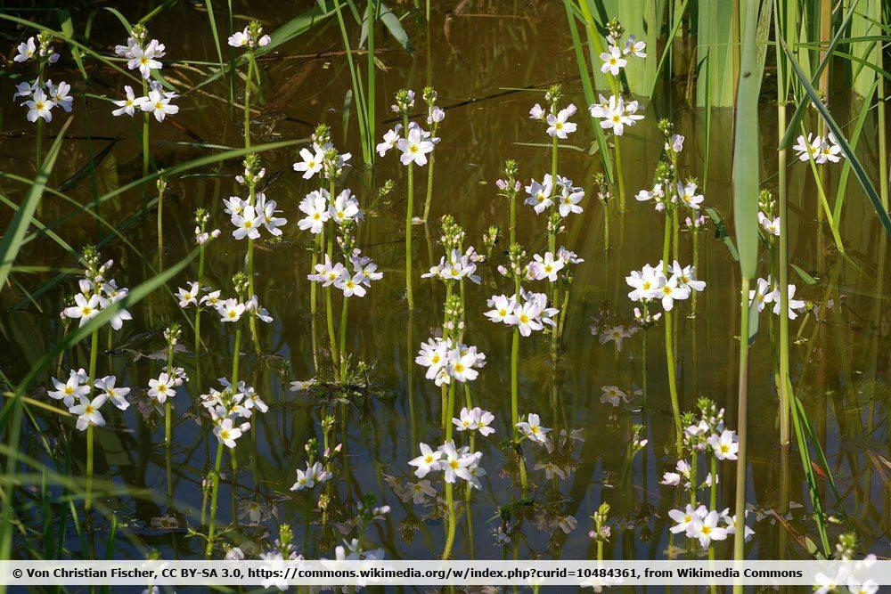 Wasserfeder, Hottonia palustris