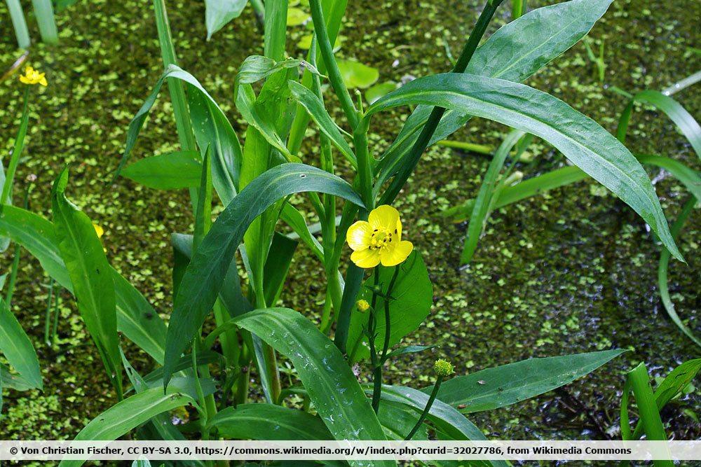Zungen-Hahnenfuß, Ranunculus lingua