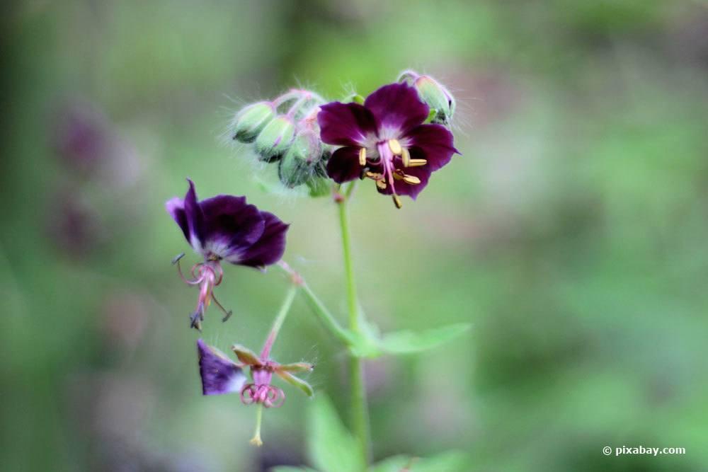 Brauner Storchschnabel, Geranium phaeum