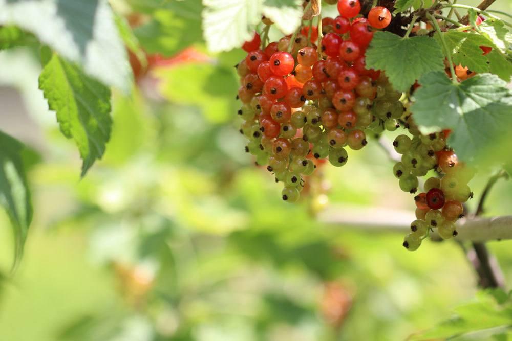 Rote Johannisbeere, Ribes rubrum