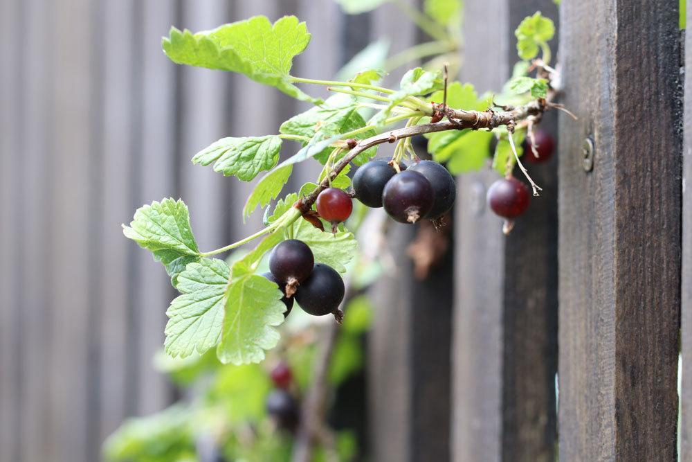 schwarze Johannisbeere, Ribes nigrum