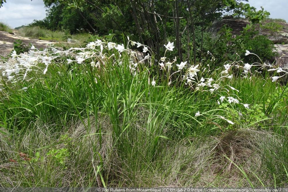 Sterngladiole - Abessinische Gladiole - Gladiolus murielae