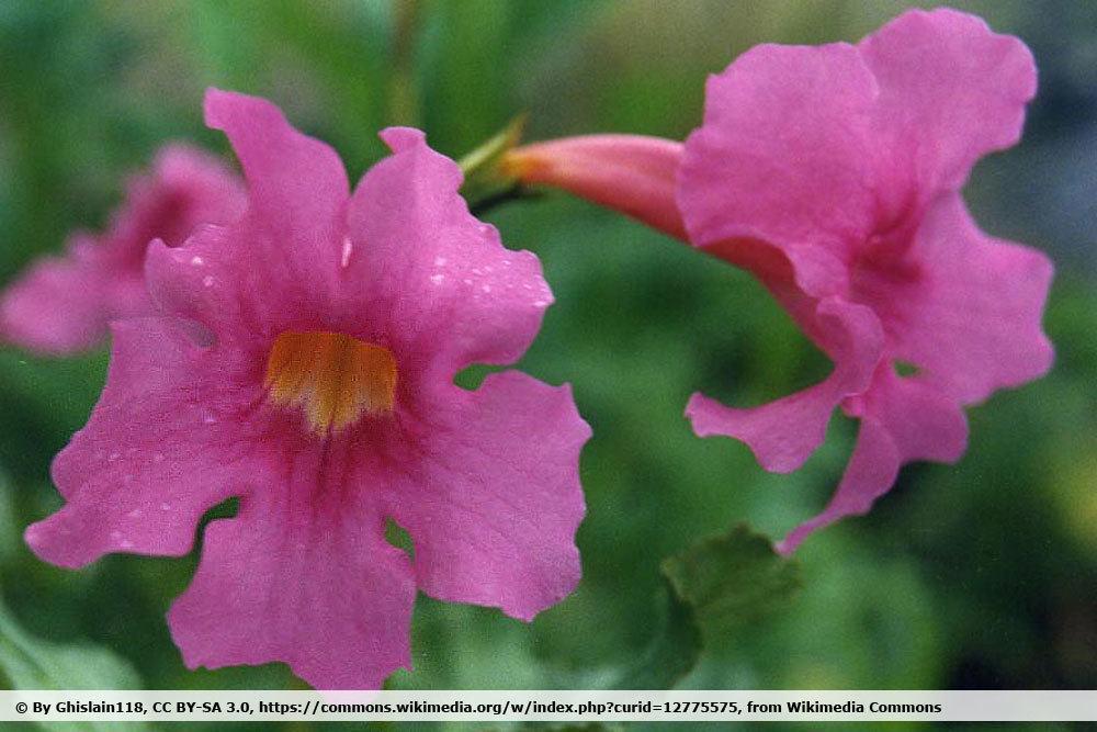 Gartengloxinie, Incarvillea delavayi