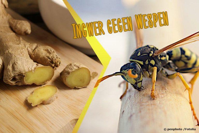 Ingwer gegen Wespen
