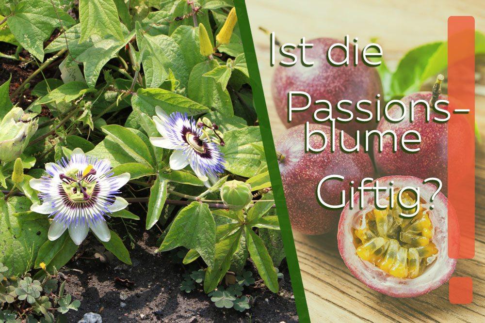 Ist die Passionsblume giftig?