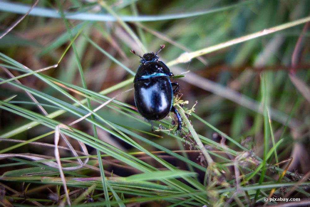 Kugelkäfer, Sphaeriusidae