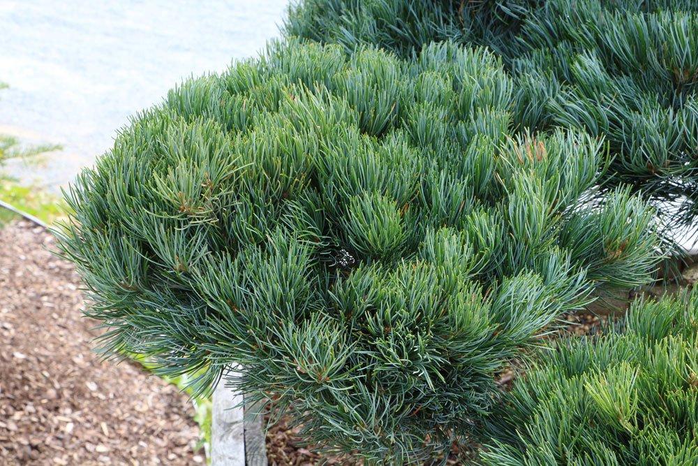 Mädchen-Kiefer, Pinus parviflora