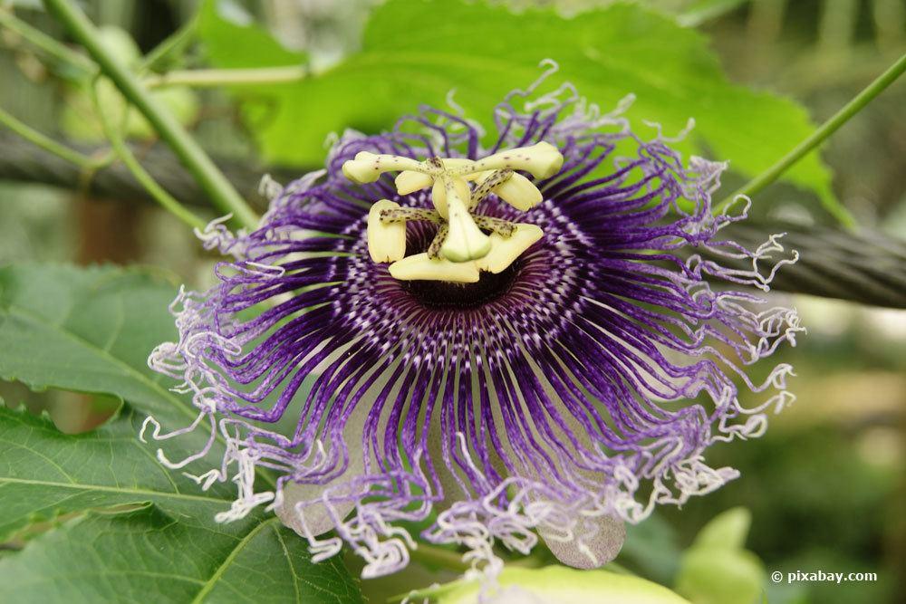 Fleischfarbene Passionsfrucht, Passiflora incarnata