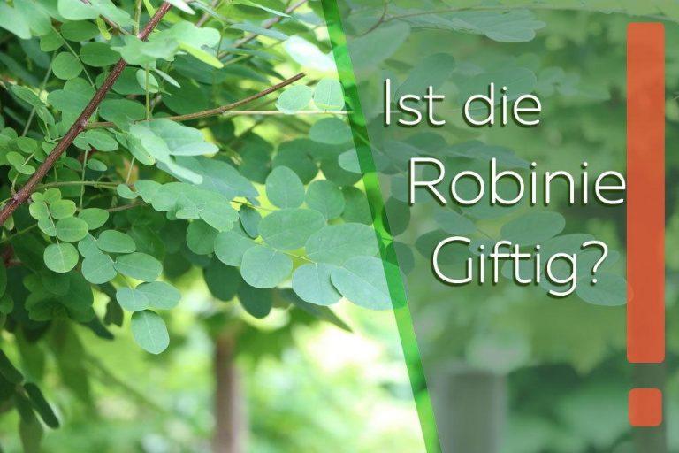 Ist die Robinie giftig?
