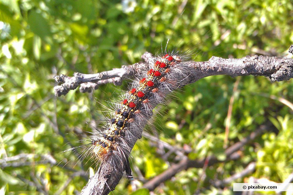 Schwammspinner Raupe, Lymantria dispar