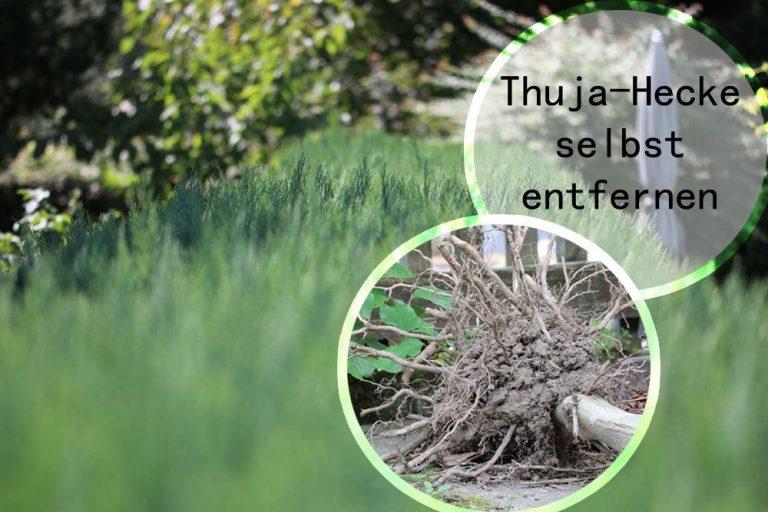 Thuja-Hecke selbst entfernen