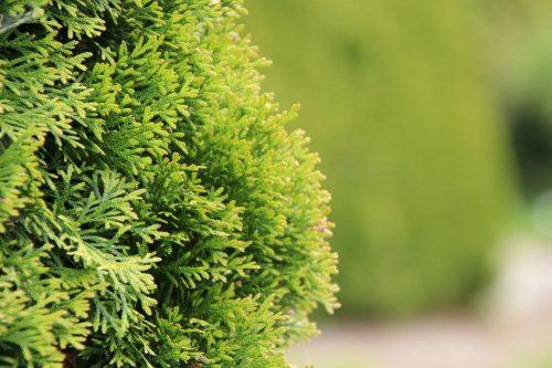 Abendländischer Lebensbaum, Thuja occidentalis