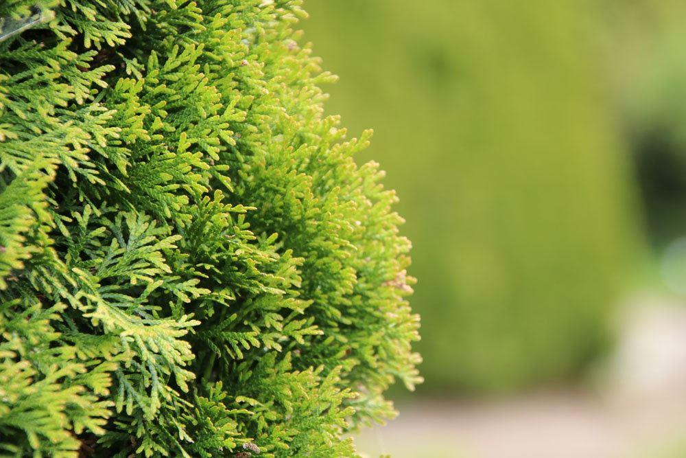 Abendländischer Lebensbaum, Thuja occidentalis 'Smaragd'