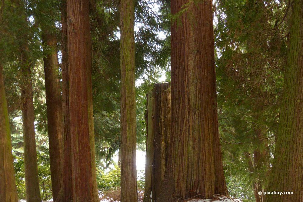 Riesen-Lebensbaum, Thuja plicata