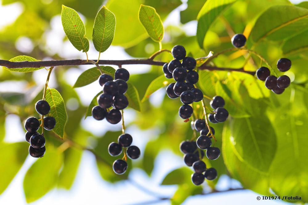 Früchte der Traubenkirsche