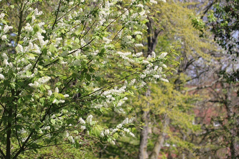 Traubenkirsche, Prunus padus