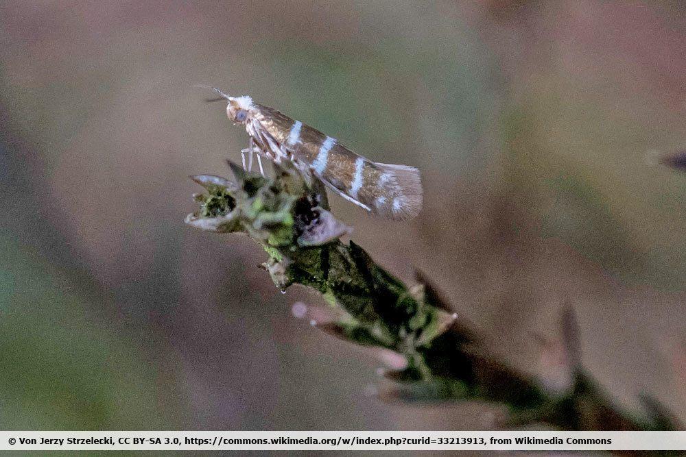 Wacholderminiermotte, Argyresthia trifasciata
