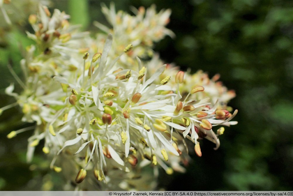 Blumen-Esche