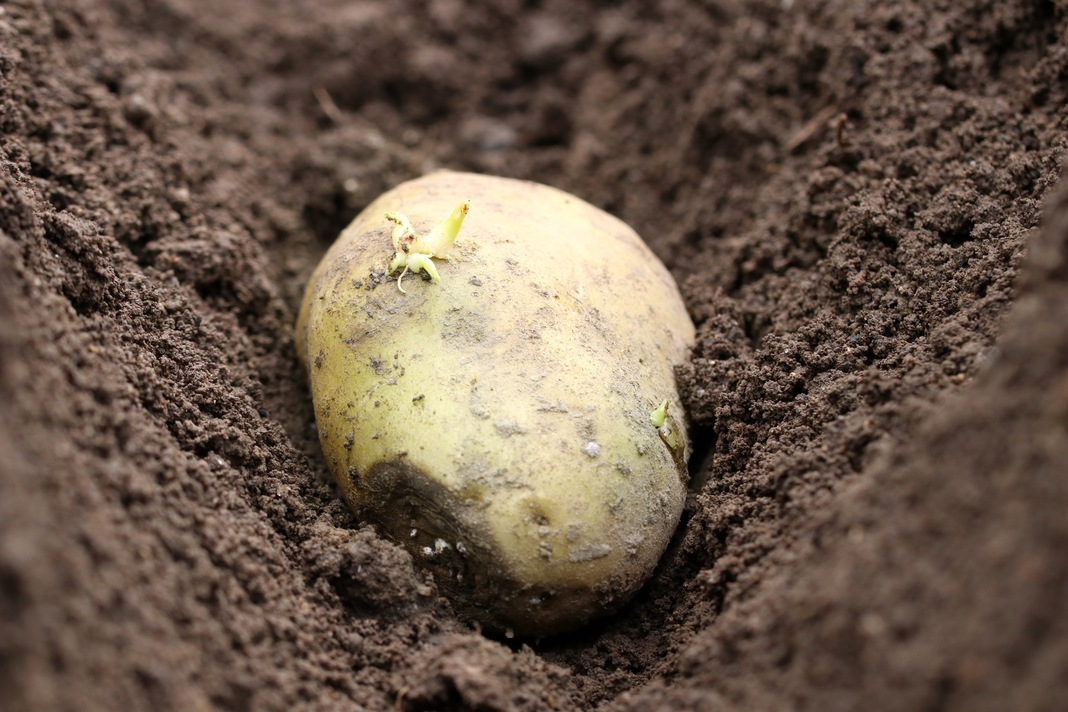 Grüne Stellen an Kartoffeln