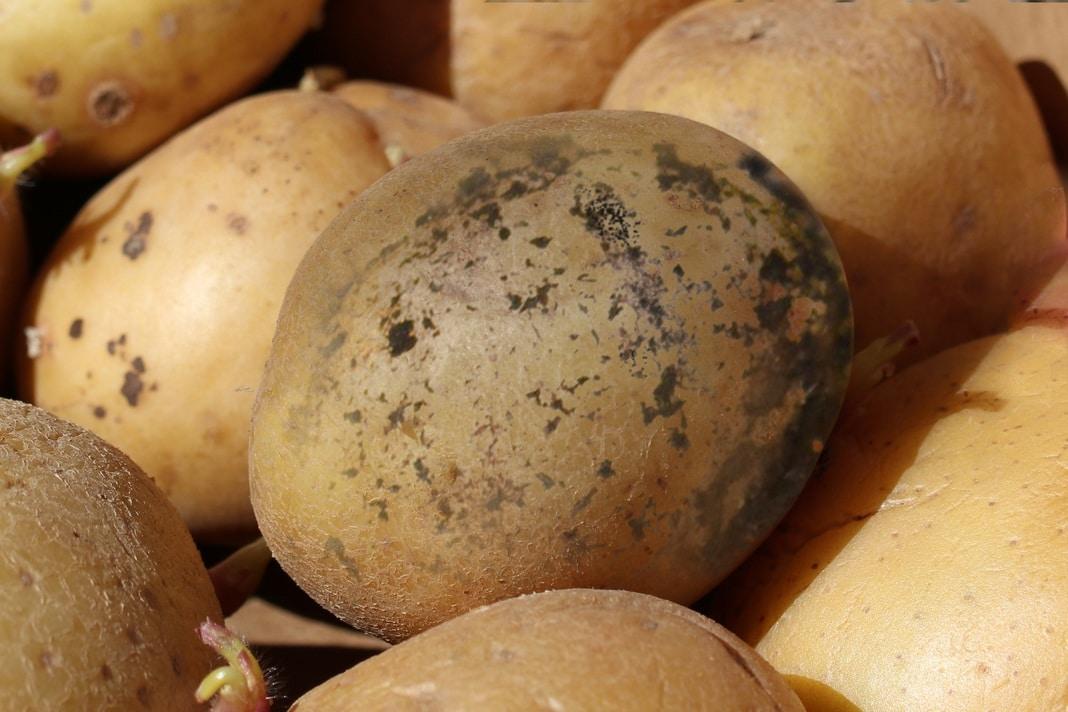 Wurzeltöterkrankheit an Kartoffeln