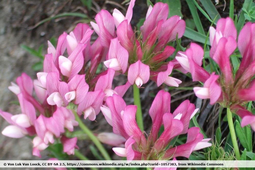 Alpenklee, Trifolium alpinum