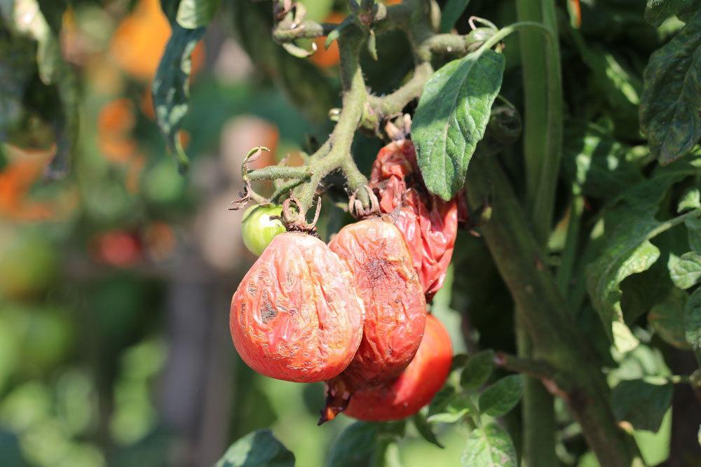 Bakterienwelke an Tomate
