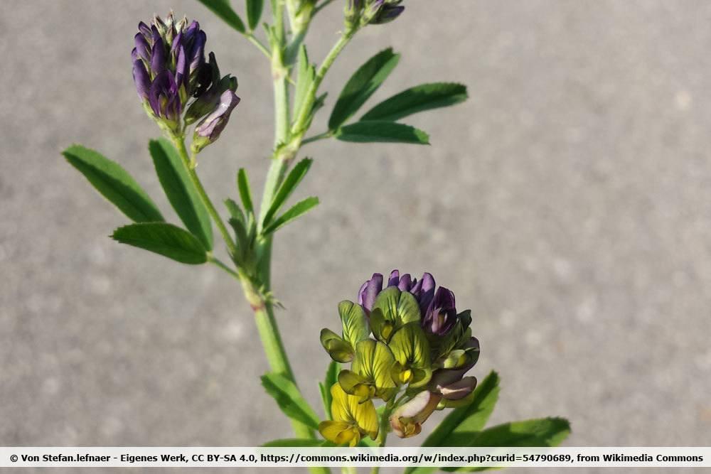 Bastard Schneckenklee, Medicago sativa ssp. varia