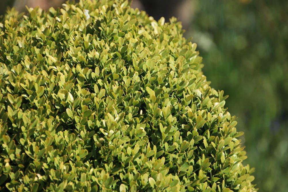 Buchsbaum, Buxus