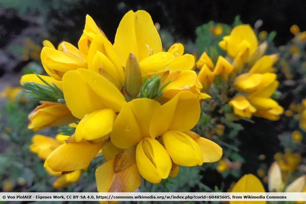 Dornenginster, Calicotome spinosa