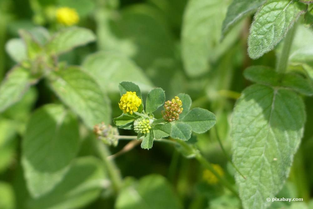 Feldklee, Trifolium campestre