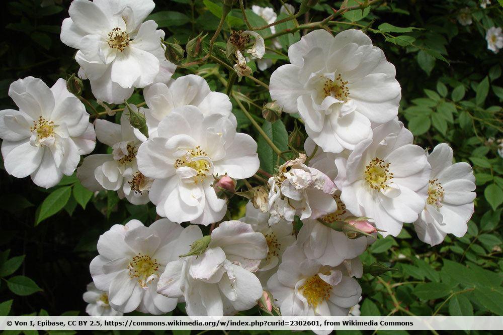 Feldrose, Rosa arvensis