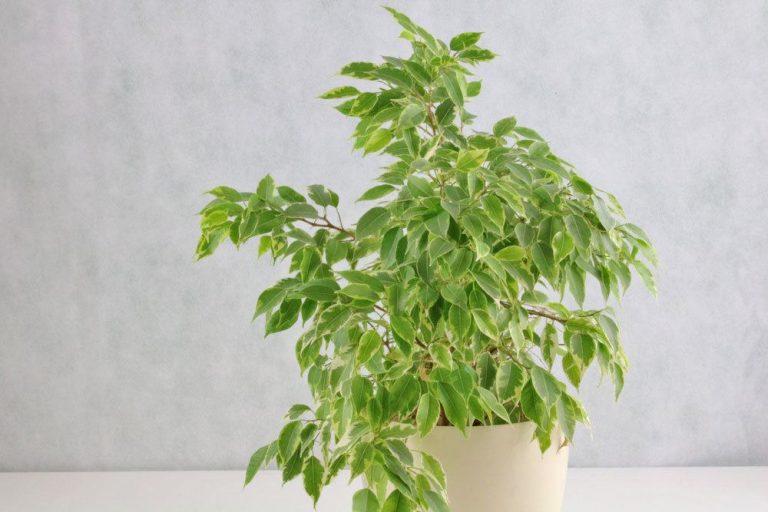 Ficus Benjamini schneiden