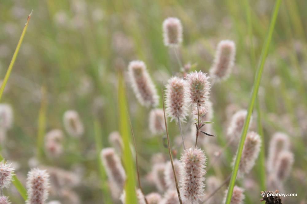 Hasenklee, Trifolium arvense
