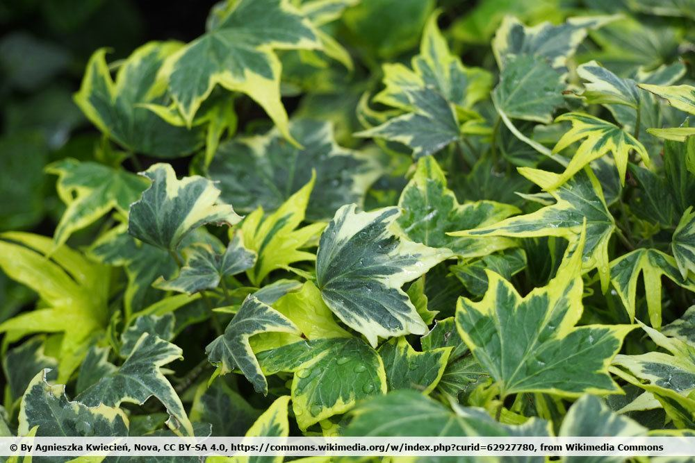 Hedera helix 'Yellow Ripple'