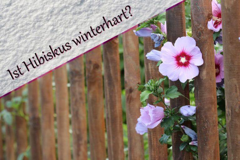 Ist Hibiskus winterhart?