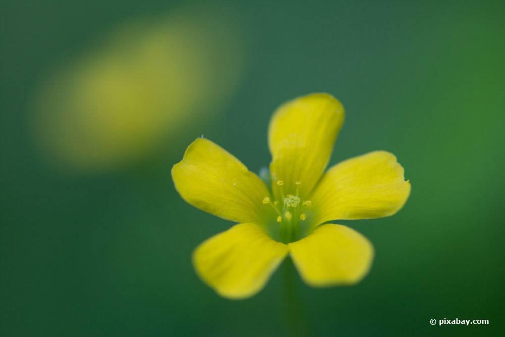 Blüte von Hornsauerklee