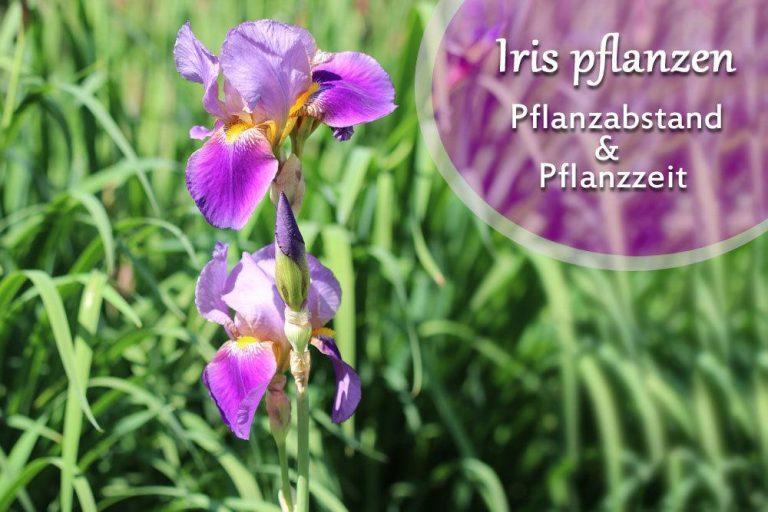 Iris pflanzen