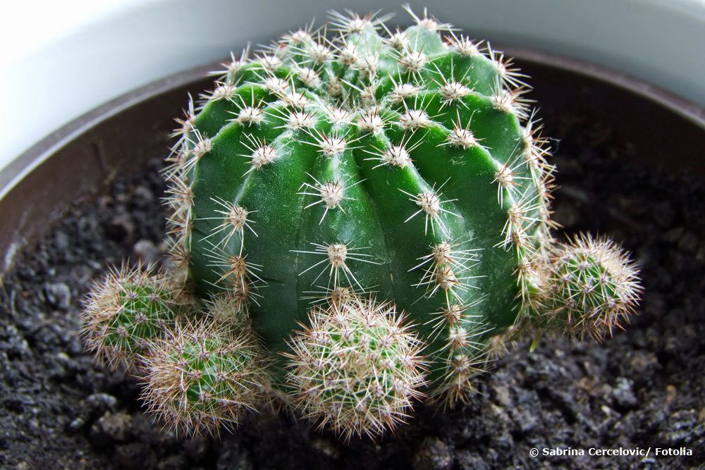 Kaktus Ableger
