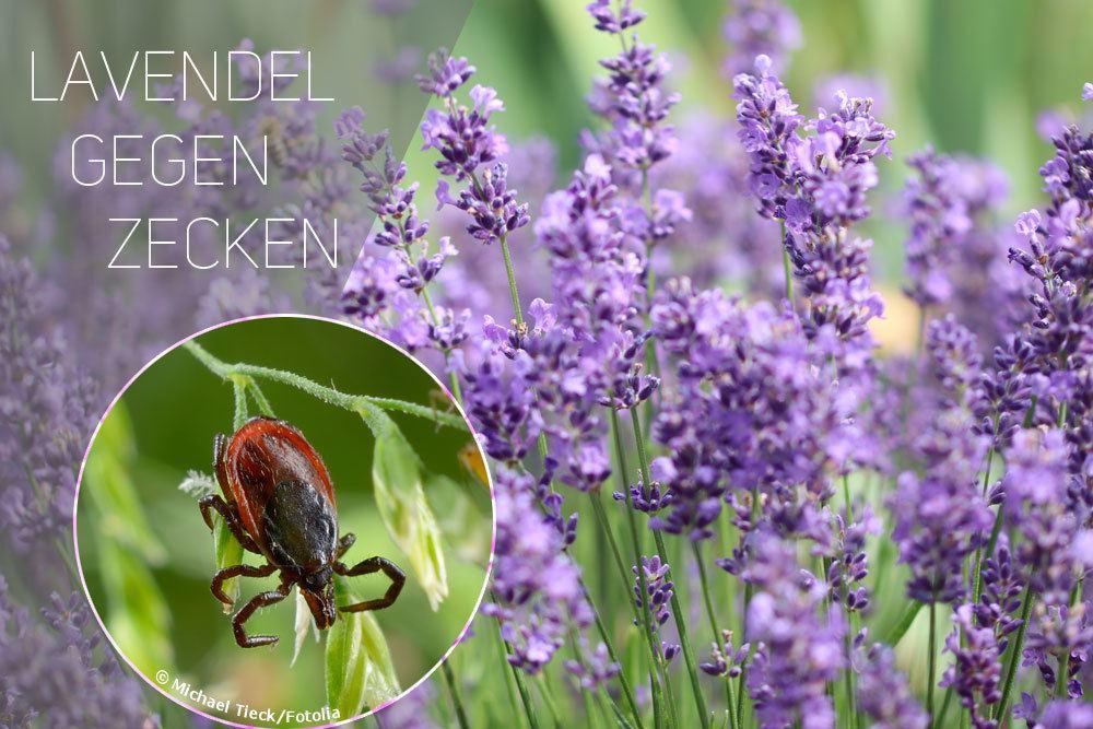 Lavendel gegen Zecken