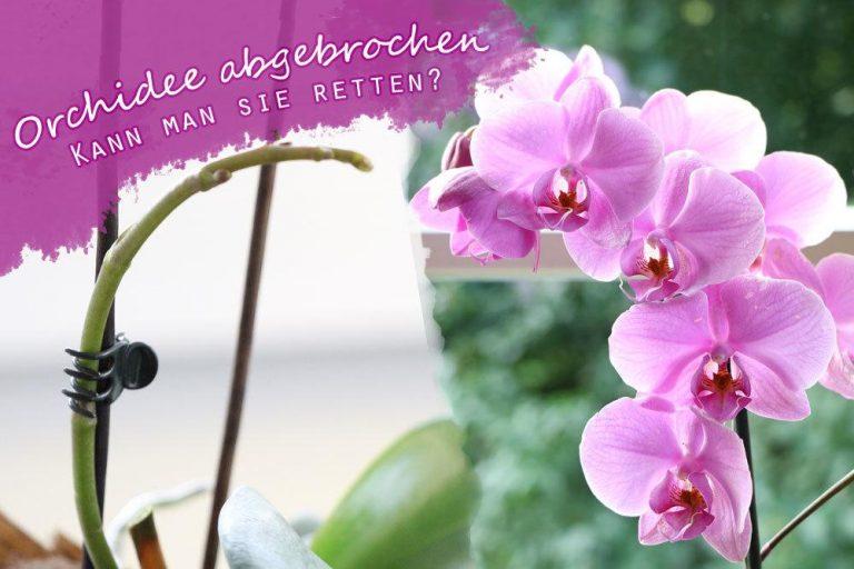 Orchidee abgebrochen