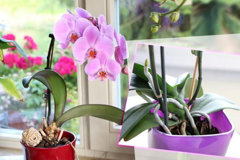 Weiche und schlaffe Blätter an der Orchidee