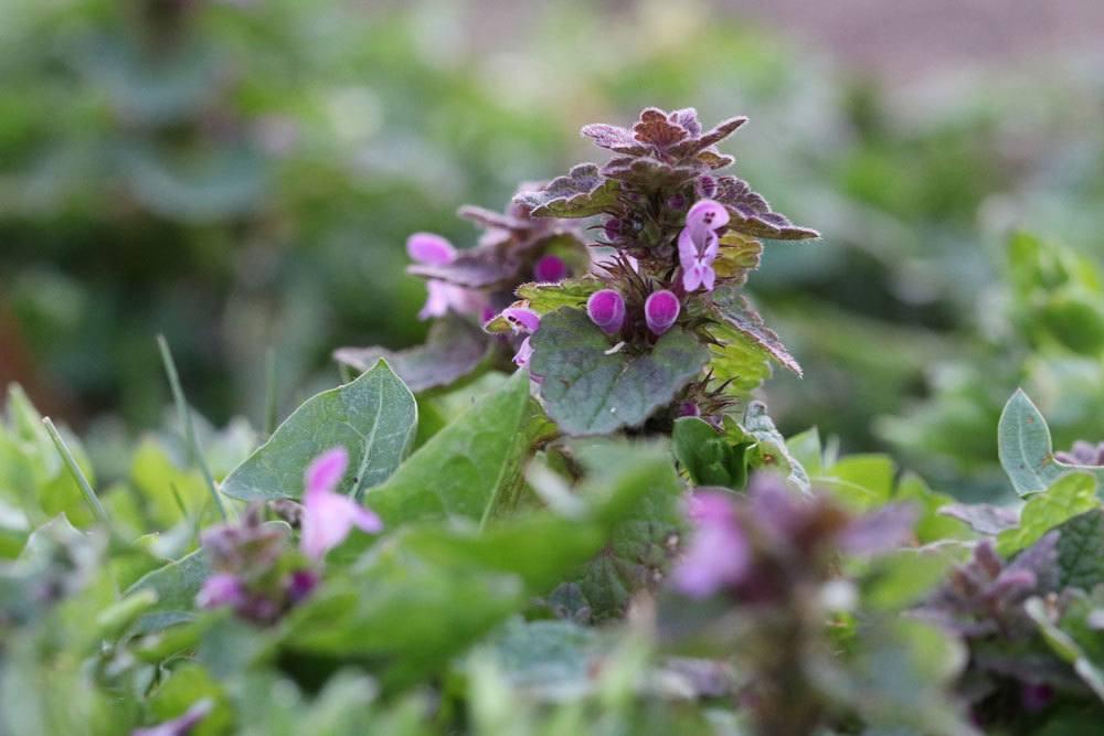 Purpurrote Taubnessel, Lamium purpureum