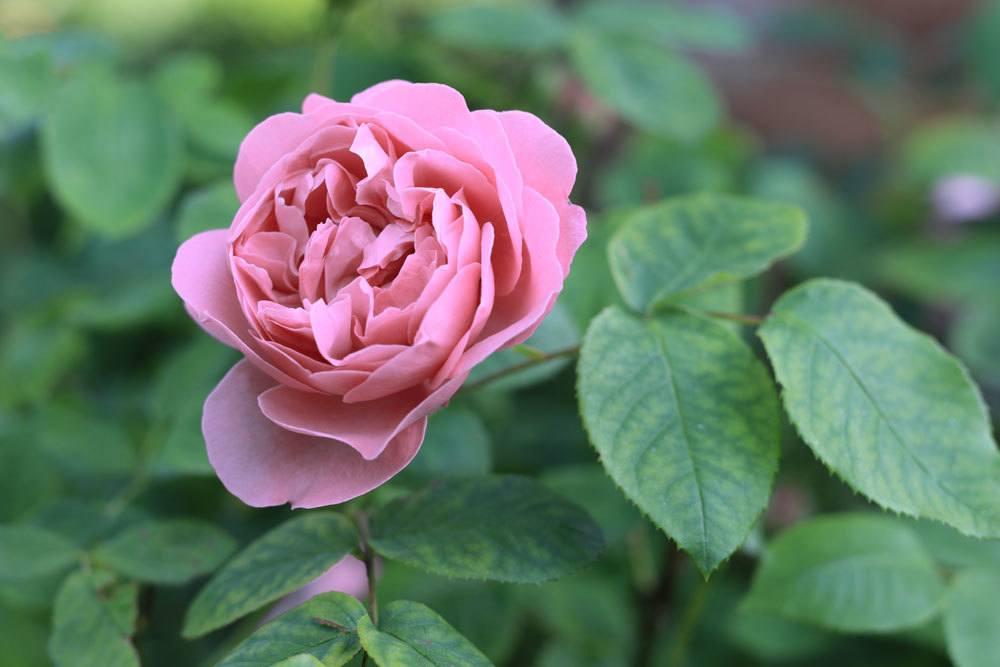 Rosa centifolia 'Muscosa'