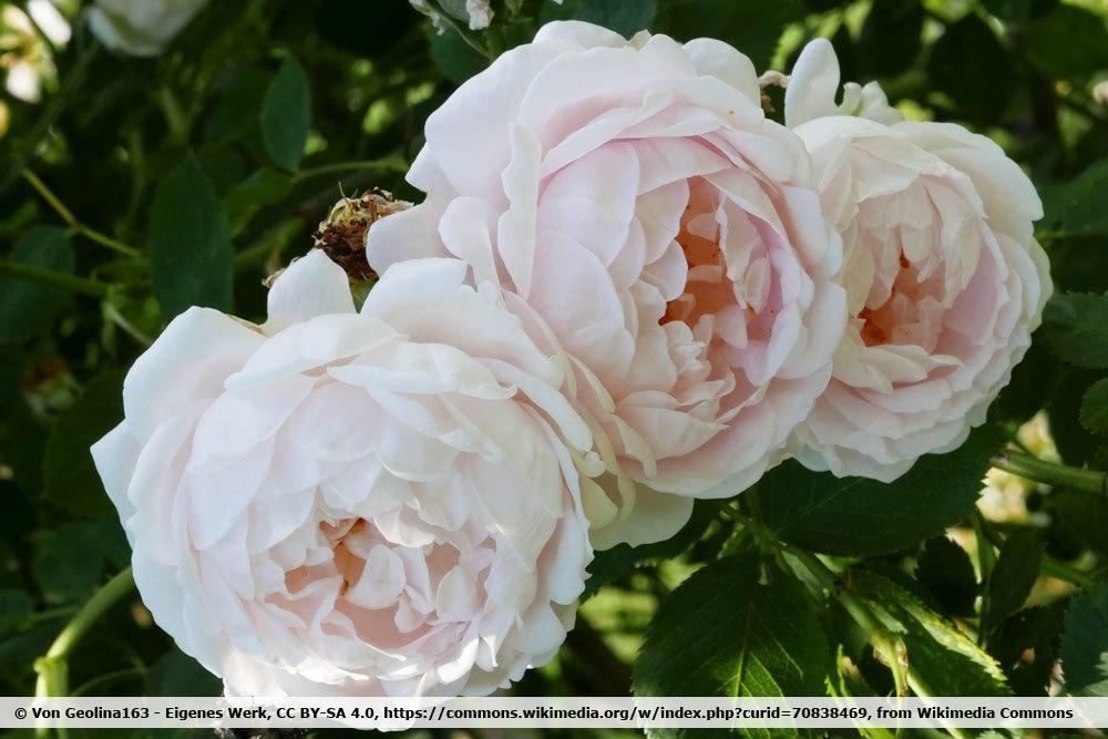 Rose 'Ännchen von Tharau'