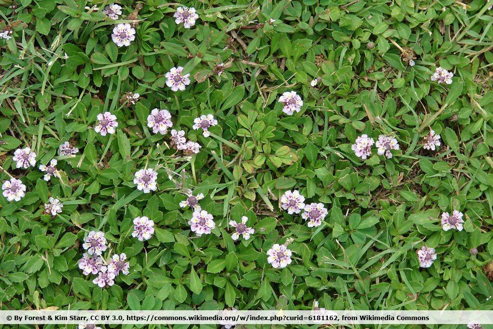 Teppichverbene, Phyla nodiflora