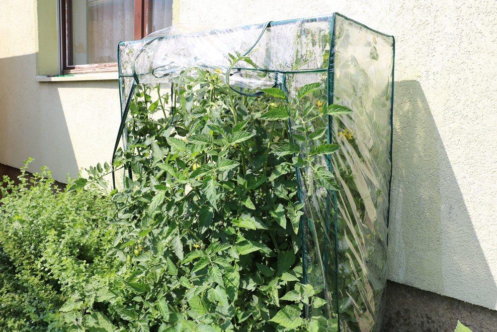 überdachte Tomaten