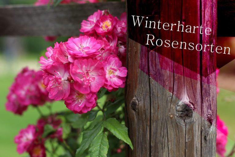 winterharte Rosen