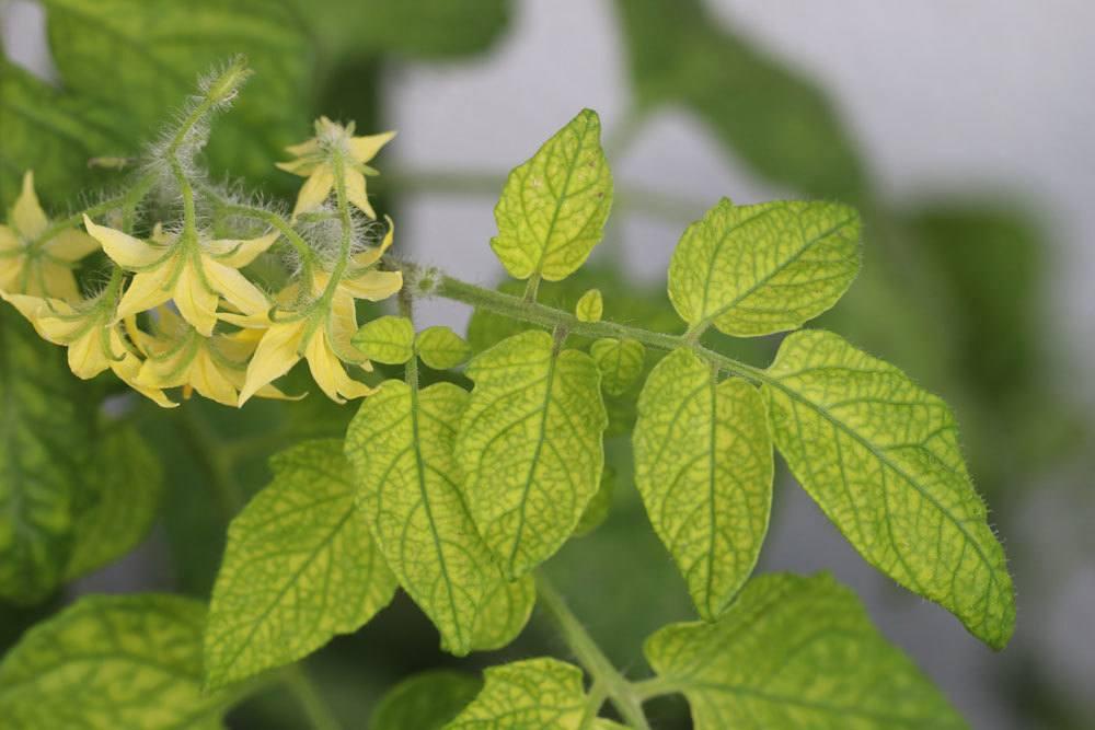 gelbe Blätter an Tomaten