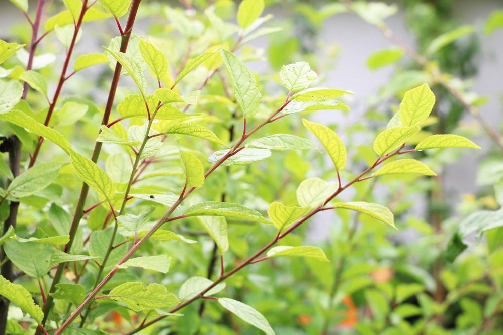 Marillenbaum - Prunus armeniaca